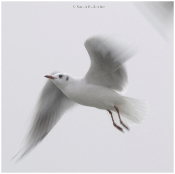 gull, wings, sound