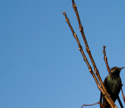 The Speckled Starling