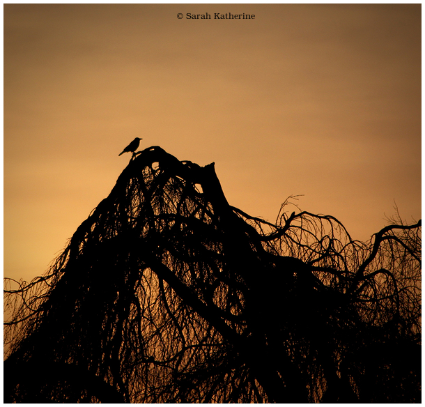 crow, sunset, winter, tree