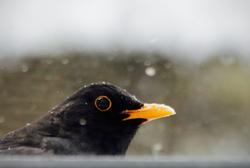 The Hungry Blackbird at My Window
