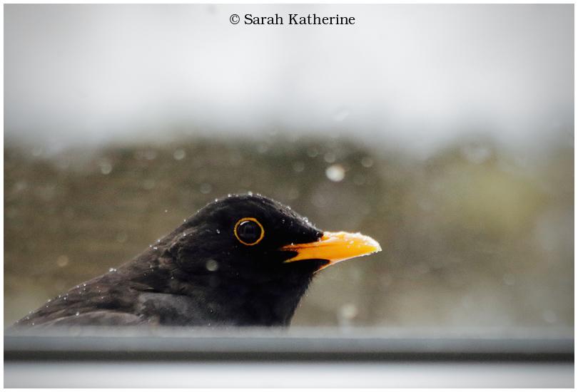 blackbird, window, merle, male, winter