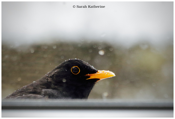 blackbird, window, merle, male, winter