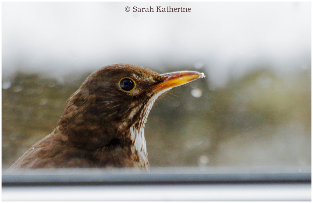 blackbird, female, winter, window
