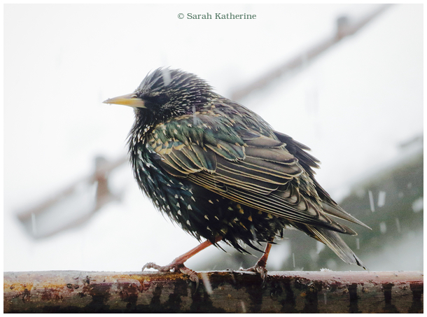 starling, snow winter