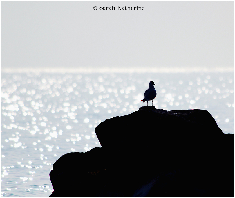 gull, rock, lake, sunlight