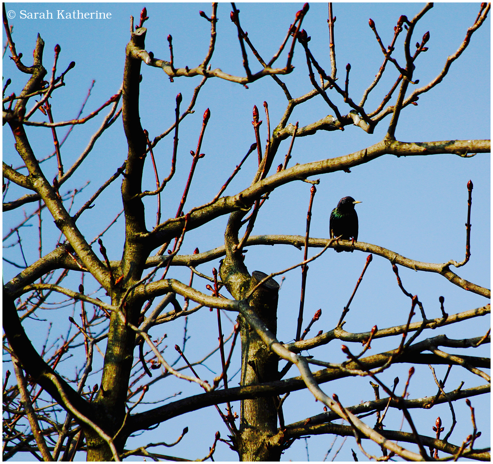 starlings, buds