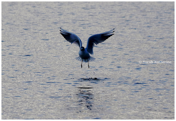 gull, water, lake, splash, blue