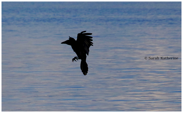 crow, fly, feet, lake