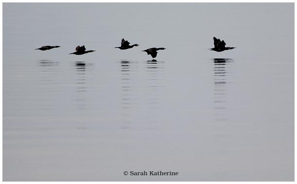 cormorants, lake