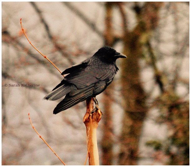 crow, spring, light, rain, buds