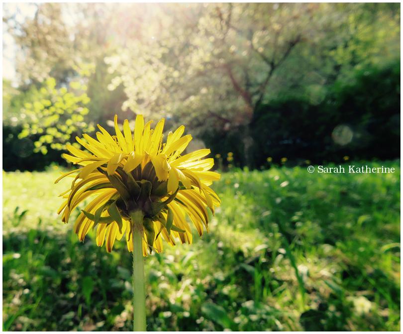 dandelion,, sun, spring
