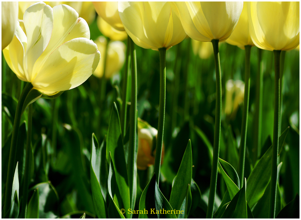 stems, tulips