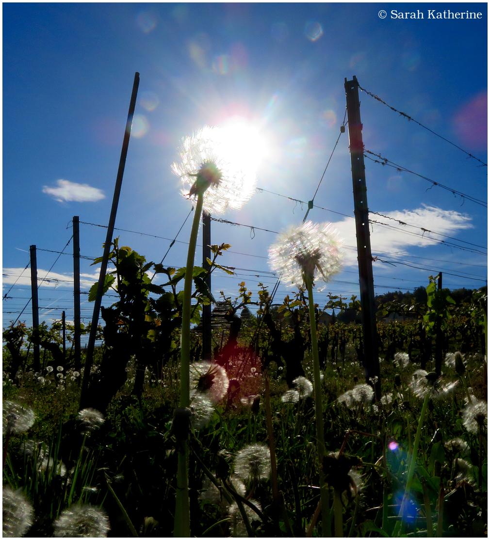 dandelion, sun, spring