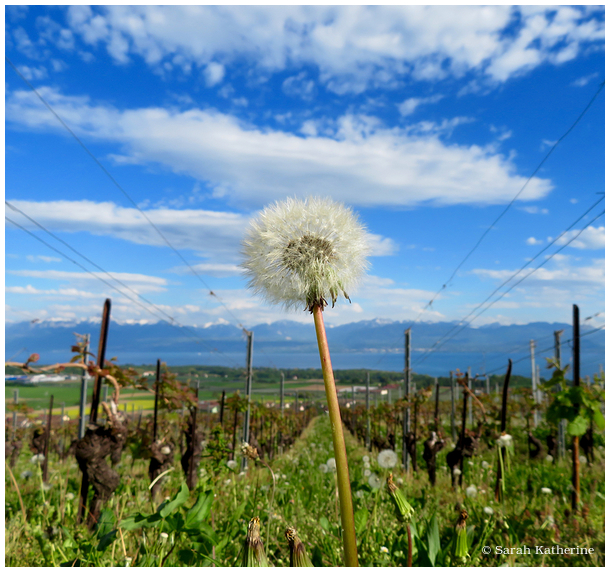 dandelion, spring, vineyards
