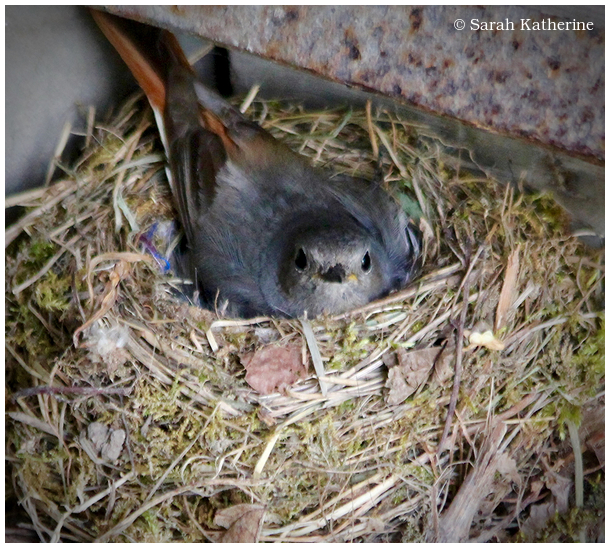 bird, nest, restart, spring, rouge-queue