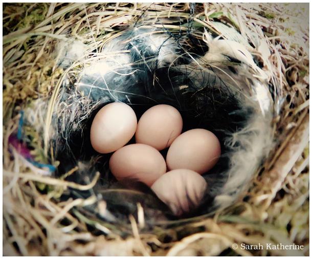 nest, eggs, redstart, spring, bird