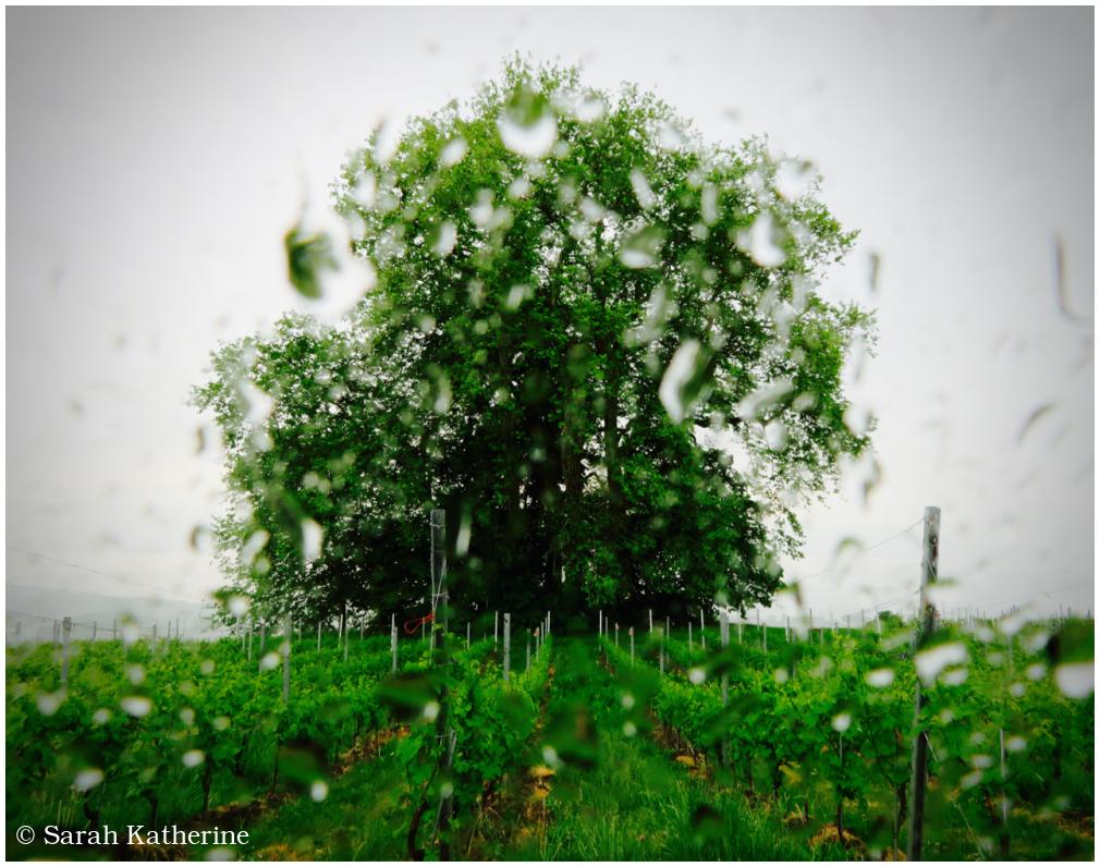 rain, tree, spring