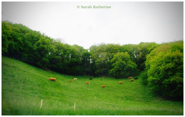 cows, green, spring