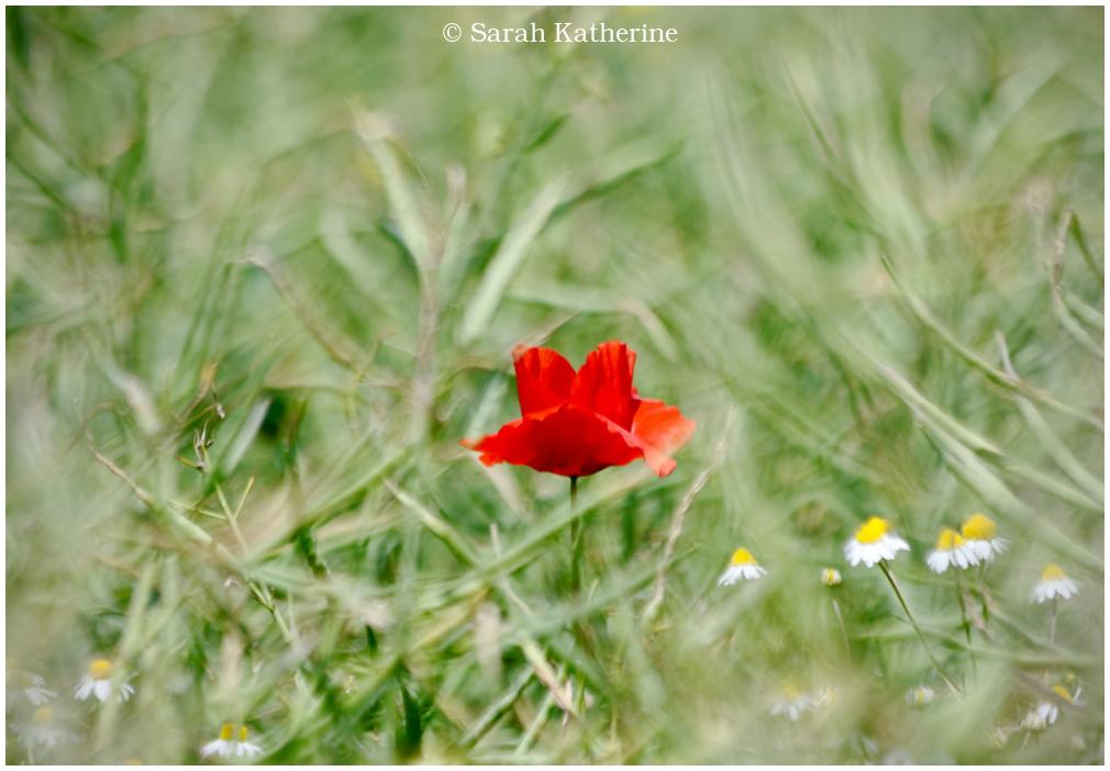 wild poppy, daisies, tall grass, spring