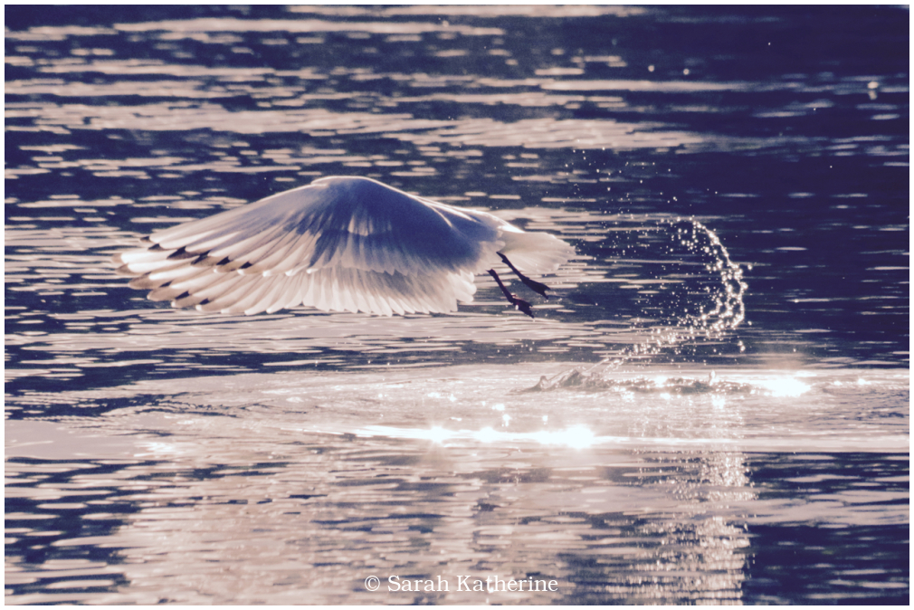 gull, lake, light