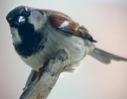 The Peeping Sparrow