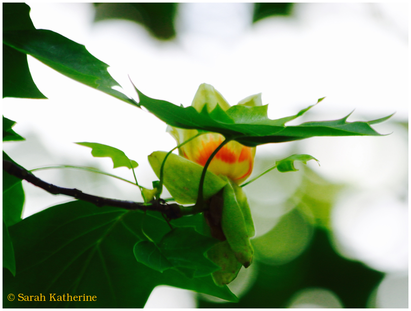 tree, flower, blossom, spring