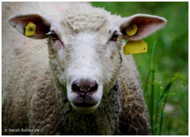 sheep, spring