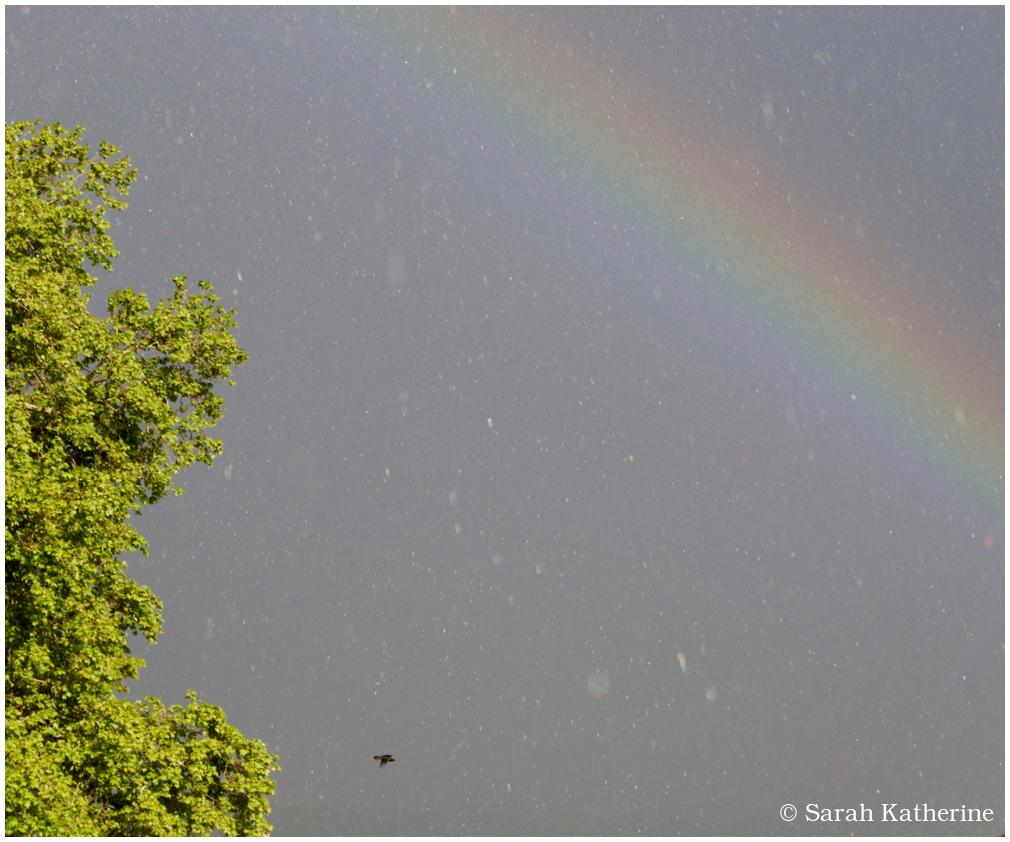 crow, rainbow, rain, spring