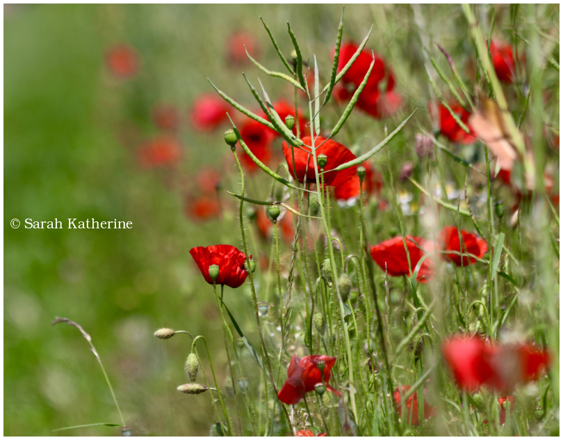 poppies, spring