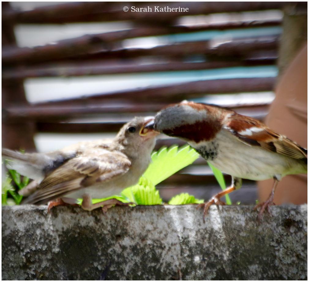 male sparrow, baby sparrow