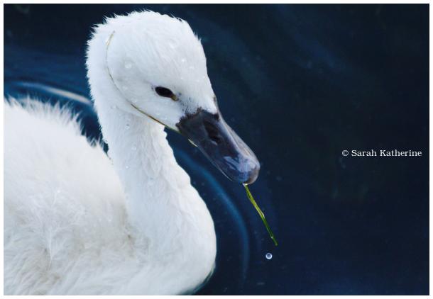 cygnet, swan, lake