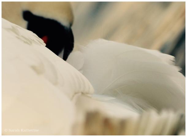 swan, feathers, lake