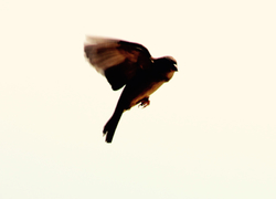 Sparrow in the Sky