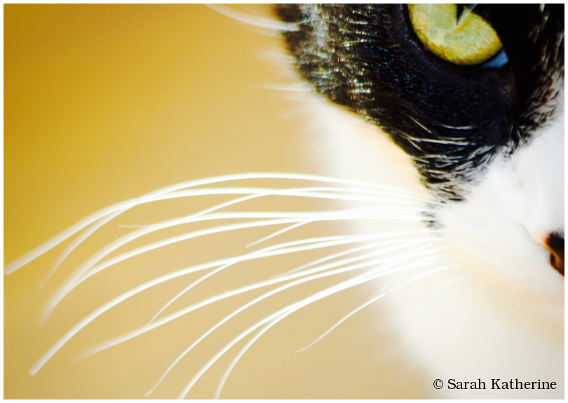 cat, whiskers, eye, nose