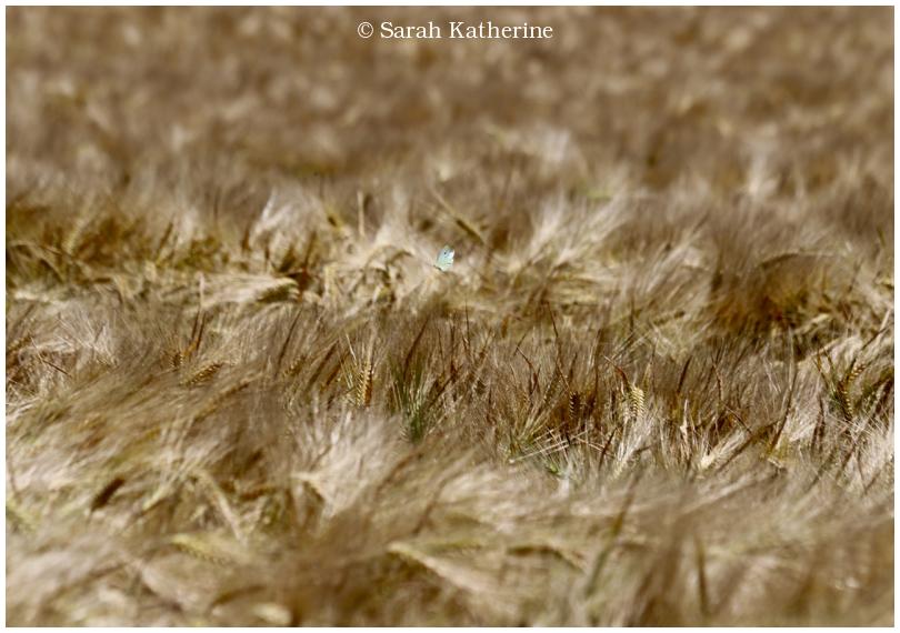 wheat field, butterfly