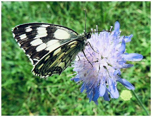 butterfly, summer, June, flower
