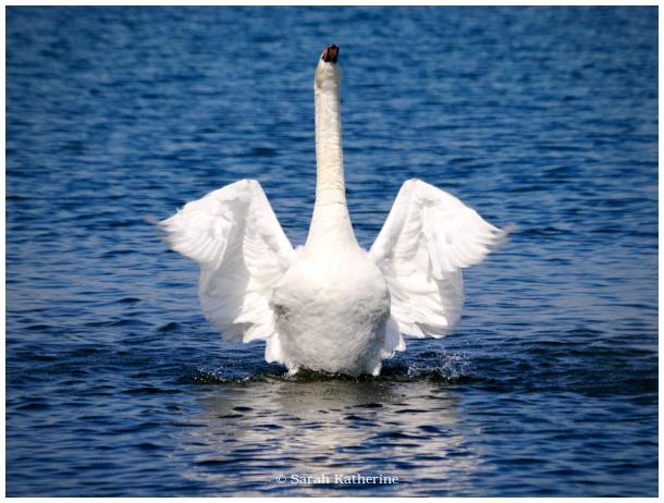 swan, sun, solstice, lake