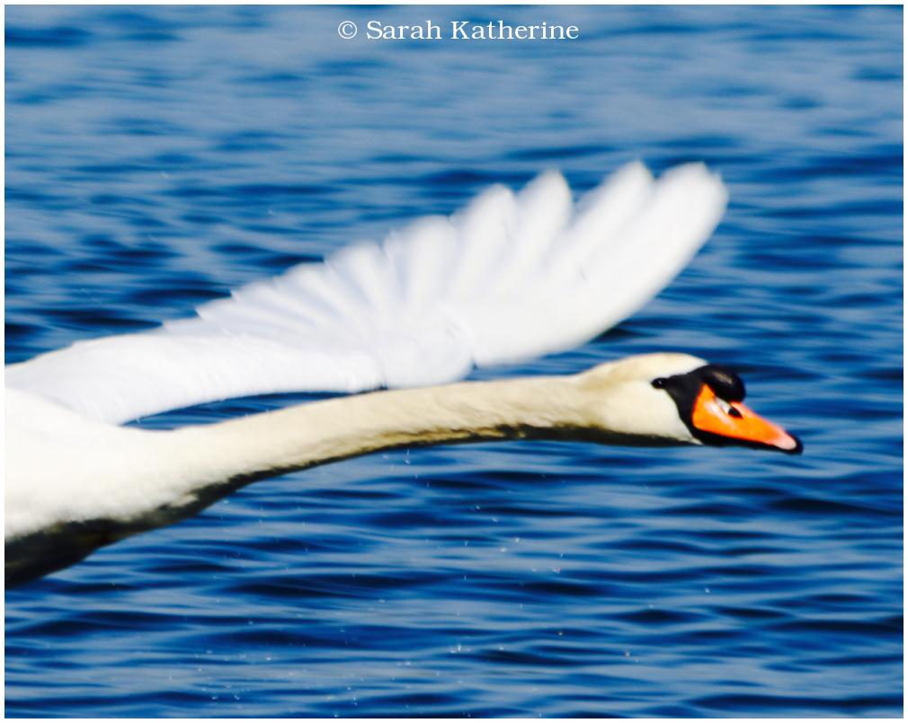 swan, wings, angel, flying