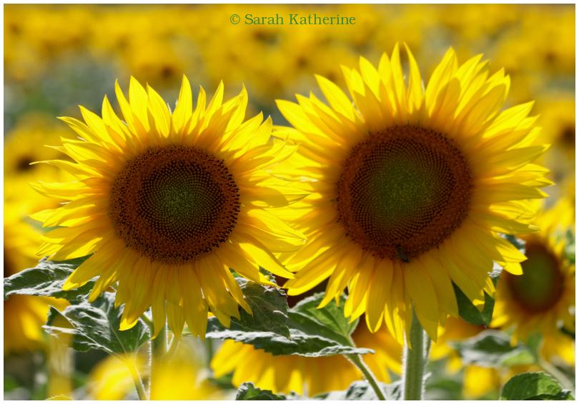 sunflowers, summer