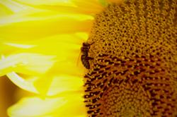 Sunflower Flare