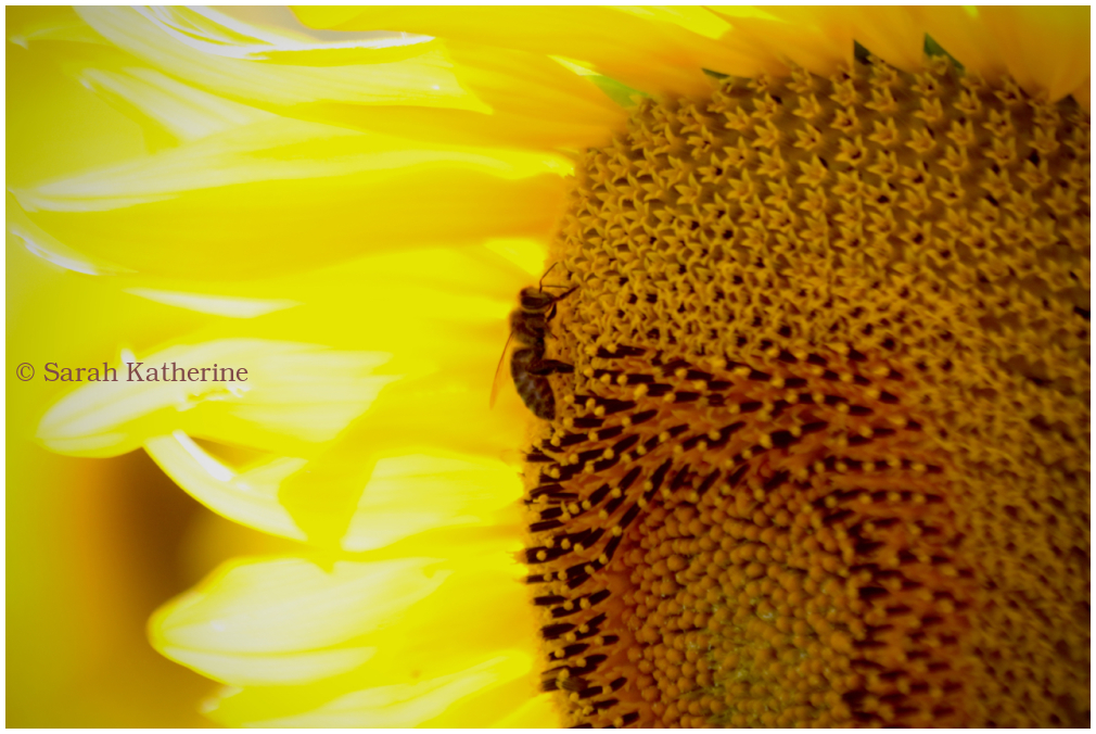 sunflower, bee, summer