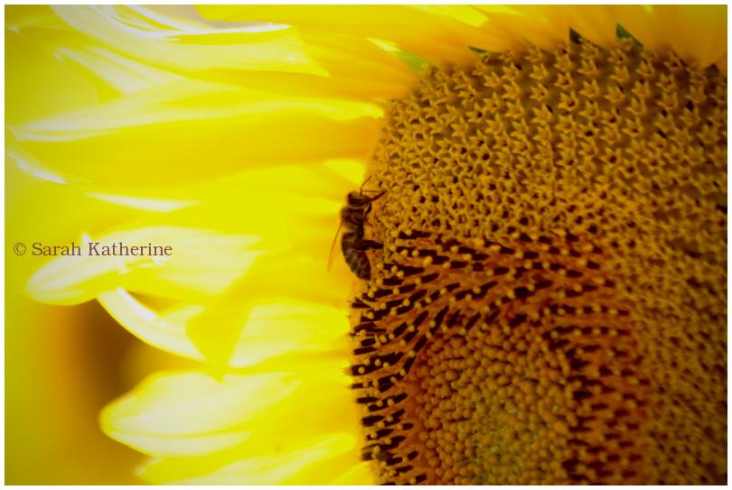 sunflower, bee, summer