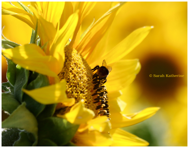 bee, sunflower, summer