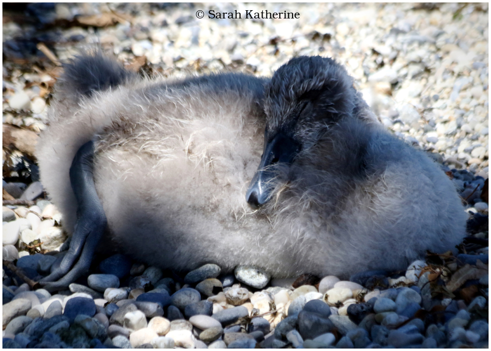 cygnet, sleep, beach, lake