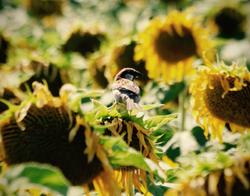 Sunflowers & Sparrow