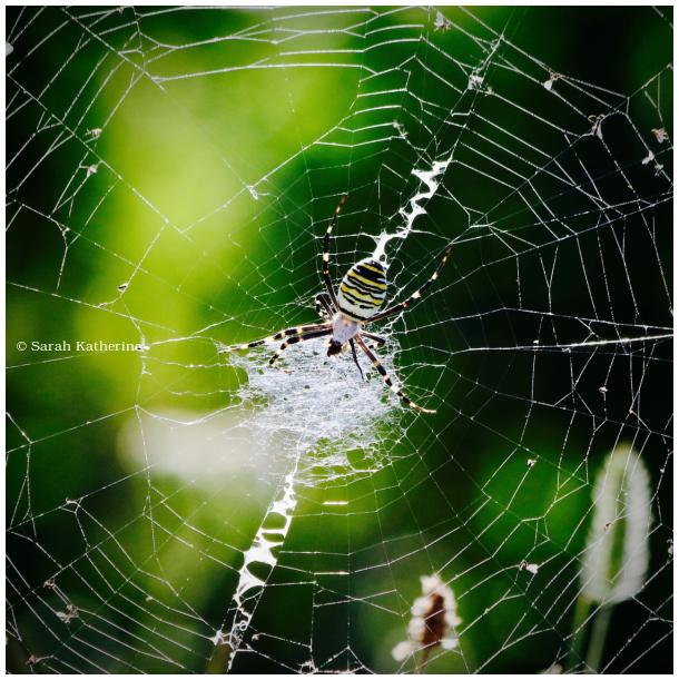 spider, summer