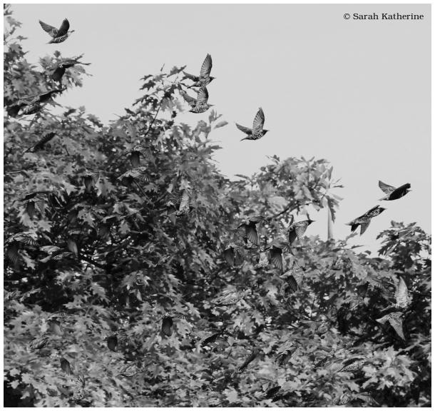 summer, trees, starlings