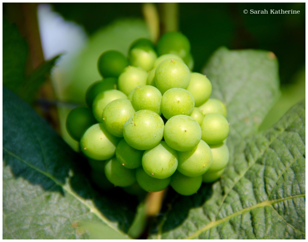 green, grapes