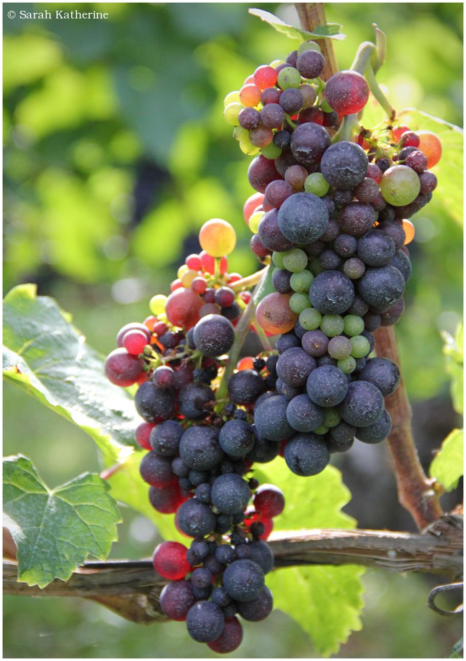 grapes, vines
