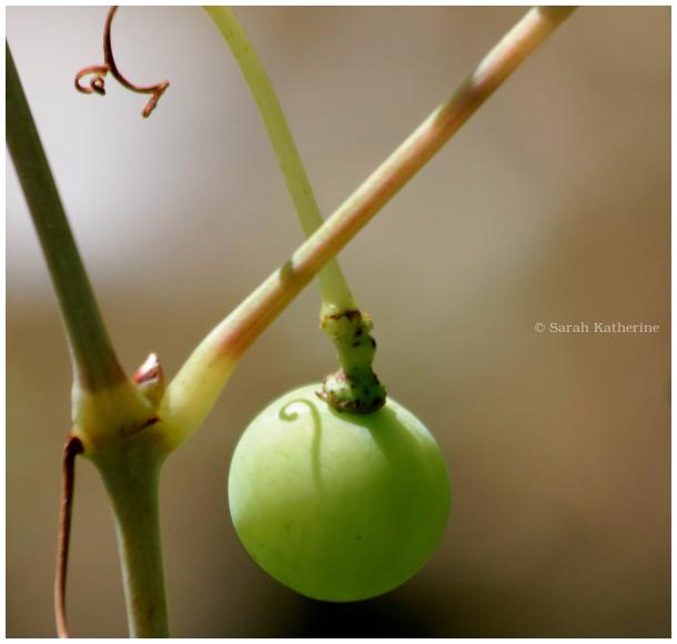 grape, vine, shadow